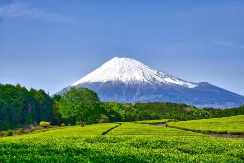 富士市の茶畑