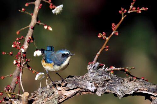泉佐野市の鳥ルリビタキ